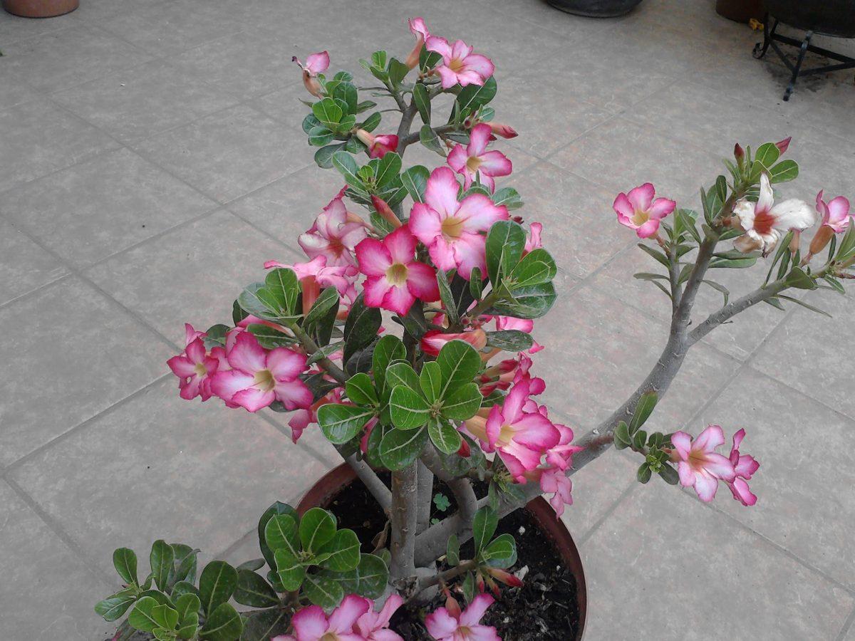 1 planta de rosa del desiero adenium obesum en for Pianta rosa