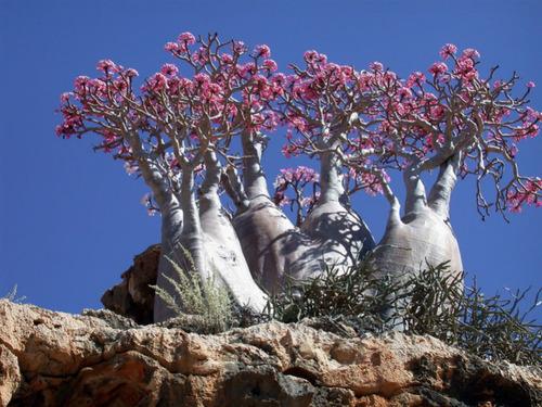 1 rosa deserto, rara, adenium socrotanum, extra 7 kg