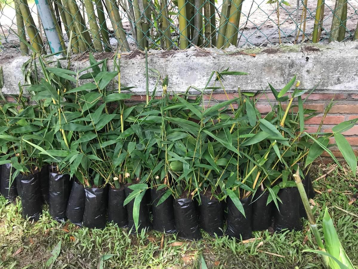 10 Bambu Verdes Para Jardin Bambusa Oldhamii 70000 En Mercado Libre - Jardin-bambu