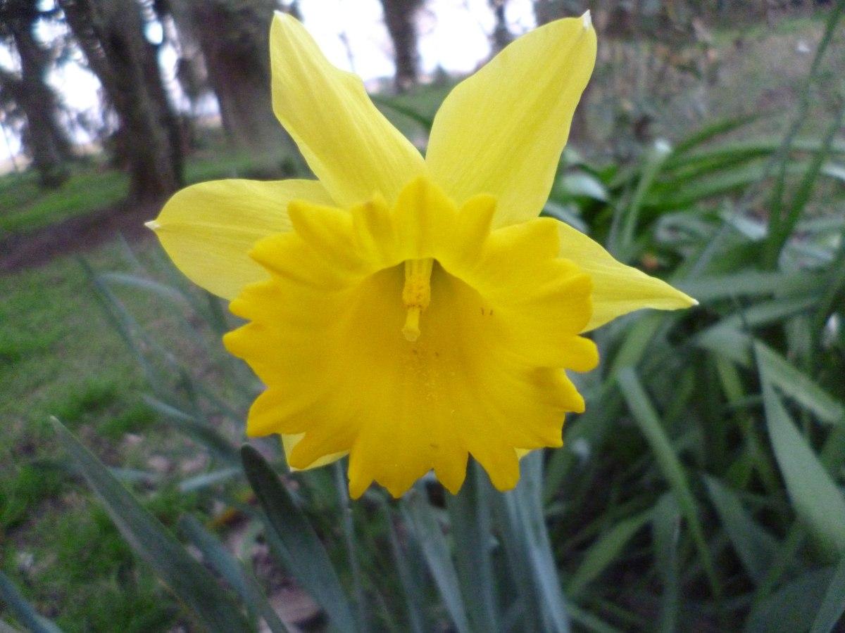 10 Bulbos De Narcisos 33000 en Mercado Libre