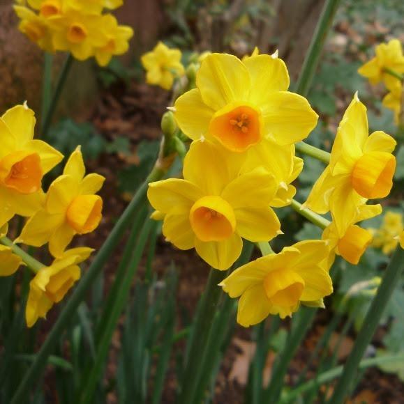 10 Bulbos De Narcisos 6000 en Mercado Libre
