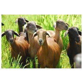 10 fórmulas ração de ovinos e caprinos ração p/ ovelha cabra