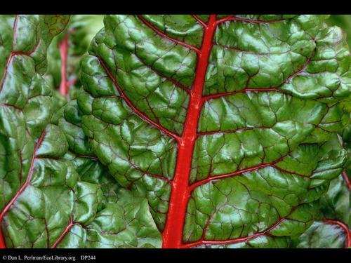 10 gr. semillas de acelga - beta vulgaris var magenta sunset