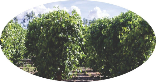 10 kg pimenta do reino preta em grãos frete grátis