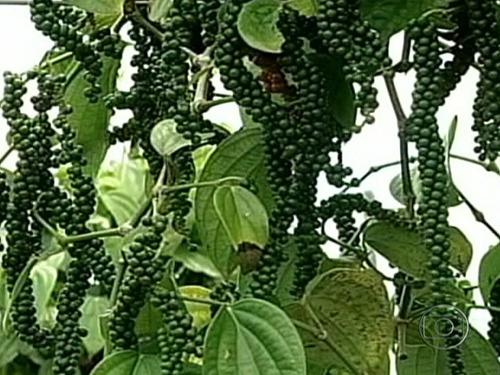 10 kg pimenta do reino preta em grãos selecionado
