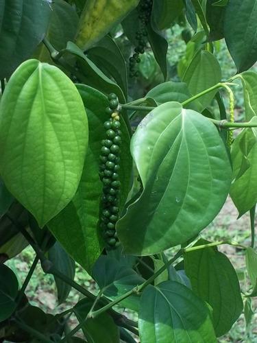 10 kg pimenta do reino preta seca em grãos frete grátis