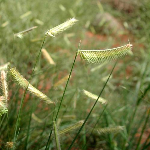 10 kilos semillas de  pasto navajita - bouteloua gracilis