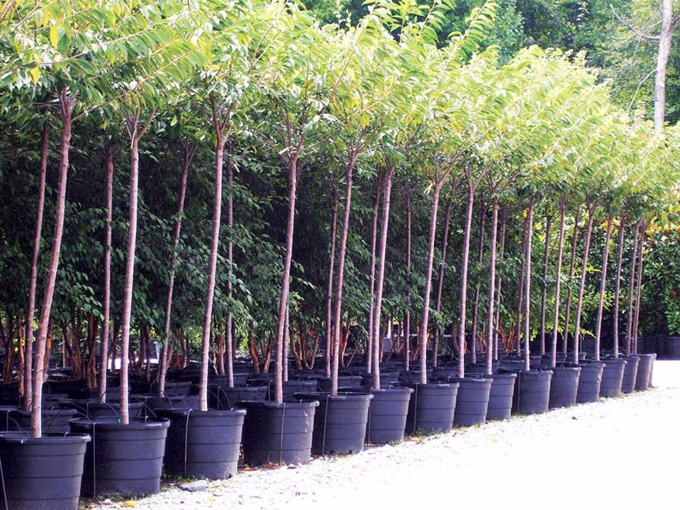 10 maceta grandes para arboles 10 galones invernadero for Arboles para macetas de exterior