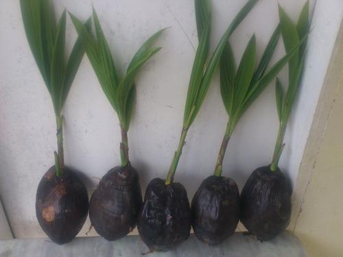 10 muda de coco coqueiro anao promoção queima de estoque