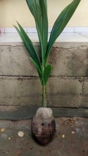 10 mudas de coqueiro coco anao  certificadas promoção