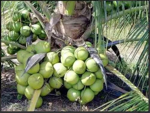 10 mudas de coqueiro coco anão precoce verde