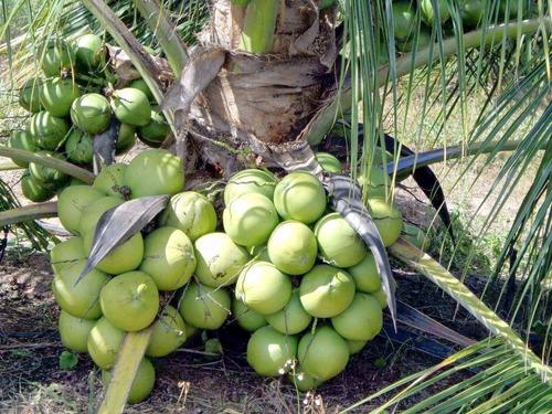 10 mudas de coqueiro coco anão precoce verde promoção