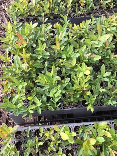10 mudas de guavira (gabiroba arbusto)
