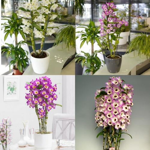 10 mudas lindas orquídeas dendrobium na promoção frete grati