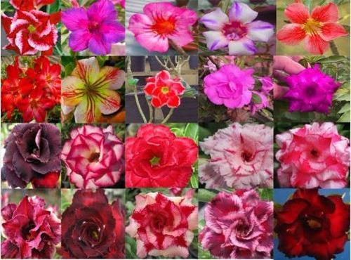 10 mudas rosa do deserto + manual cultivo - frete grátis
