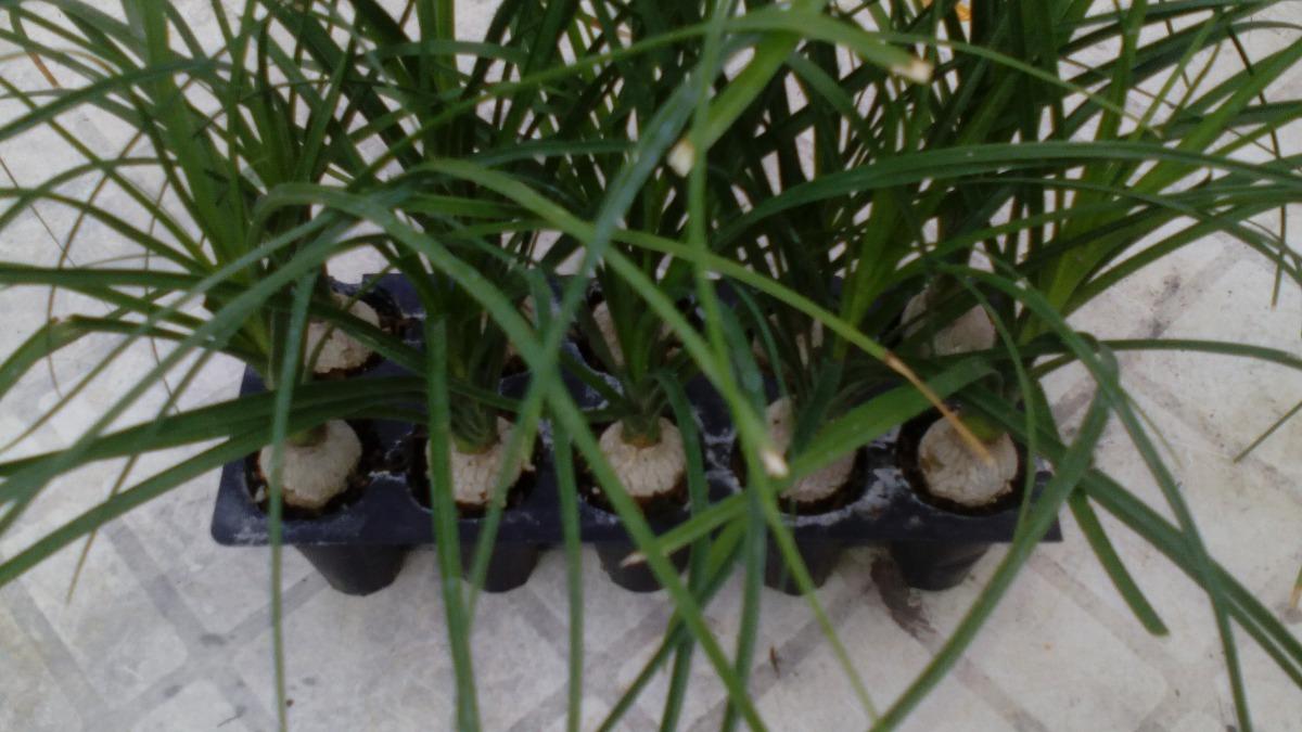 10 patas de elefante planta en mercado libre for 10 plantas de ornato