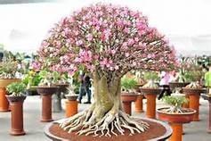 10 semente rosa do deserto (adenium obesum)