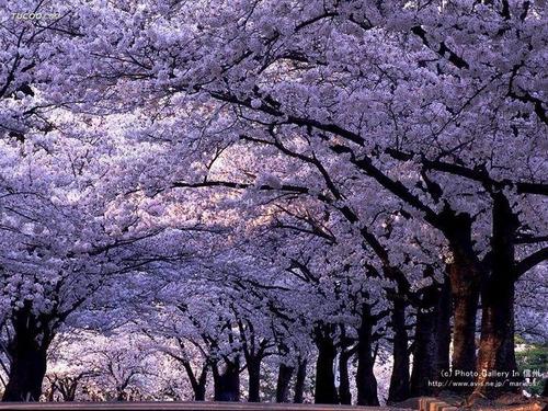10 sementes arvore roxa japonesa (tomentosa) + frete grátis