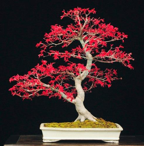 10 sementes bonsai acer palmatum vermelho árvore p/ mudas