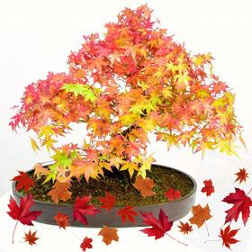 10 Sementes De Acer Maple Canadense Vermelho Rubro