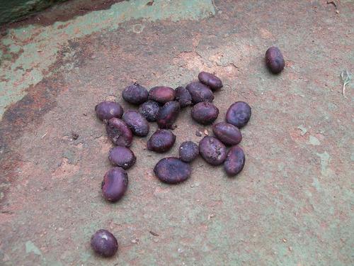 10 sementes de jataí