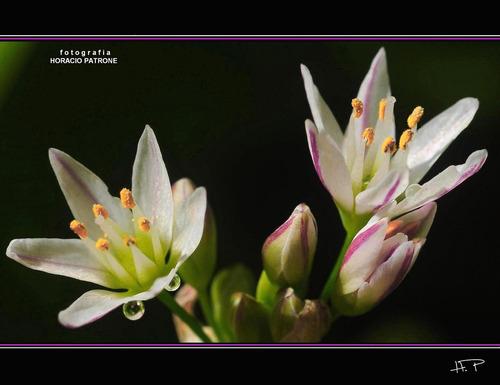 10 sementes de lágrimas da virgem - alho silvestre - panc