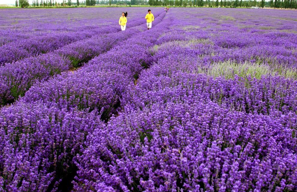 10 sementes de lavanda francesa alfazema flor jardins for Fotos de lavanda