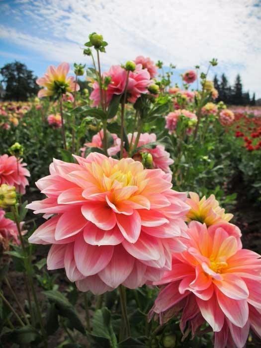 10 Sementes De Lindas Flores Dalia Zinnia Para Mudas R 1790