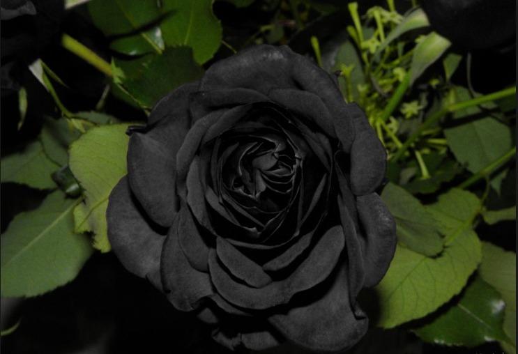 10 Sementes De Lindas Rosas Negras Black Rose Raras