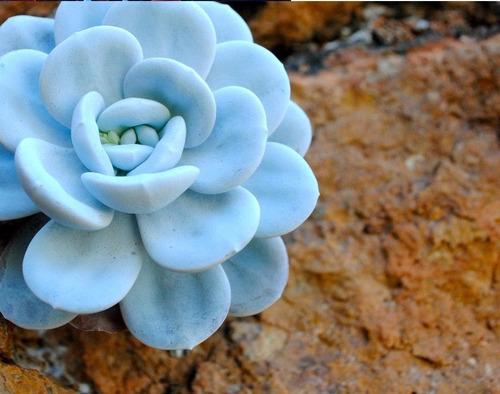 10 sementes de lithops azul suculenta pedra jade cacto vaso