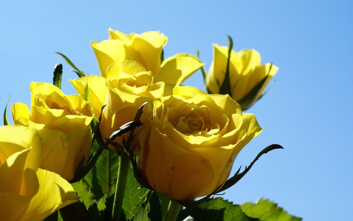 jardim rosas amarelas : jardim rosas amarelas:10 Sementes De Rosa Amarela + Frete Gratis – R$ 7,90 em Mercado Livre