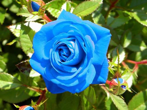 10 sementes de rosa azuis + frete gratis