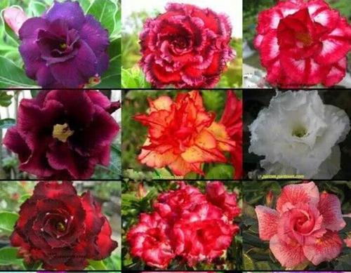10 sementes de rosa do deserto dobradas raras