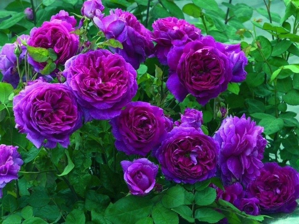10 Sementes De Rosa Lilás Plantas Rosas Flor Roxa R 2500 Em