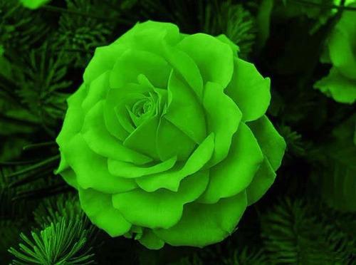 10 sementes de rosa verde
