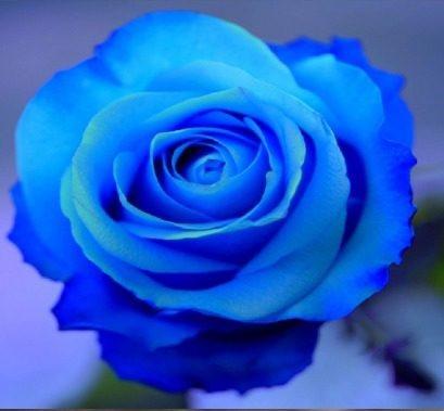 88d855b7e 10 Sementes De Rosas Azul Flor Exóticas Pra Fazer Seu Jardim - R  25 ...
