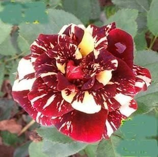 10 sementes de rosas raras + frete grátis