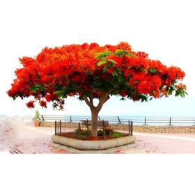 10 Sementes Flamboyant Vermelho Delonix Regia Bonsai P/ Muda