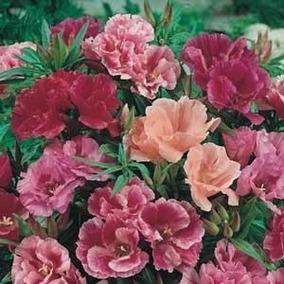 901fc654f1 100 Semente De Azaleia Pink no Mercado Livre Brasil