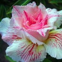 10 sementes rosa deserto raras 1 de cada cor
