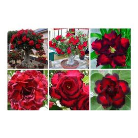 10 Sementes Rosa Do Deserto Mix Adenium Obesum P/mudas