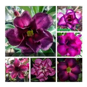 10 Sementes Rosa Do Deserto Tons Roxas Azuladas Frete Gratis
