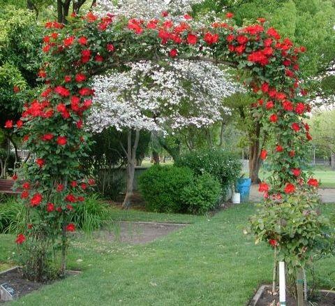 10 sementes rosa trepadeira vermelha frete gr tis r 7 for Lista de plantas de sombra