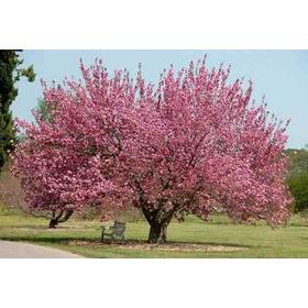 10 Sementes Sakura Cerejeira Japonesa Prunus P/ Mudas