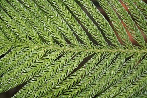 10 semillas de araucaria heterophylla - excelsa codigo 920