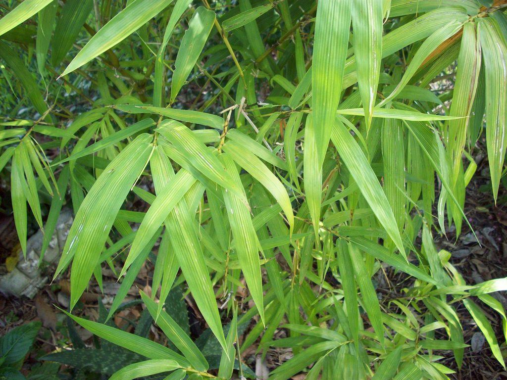 Hojas del bambu