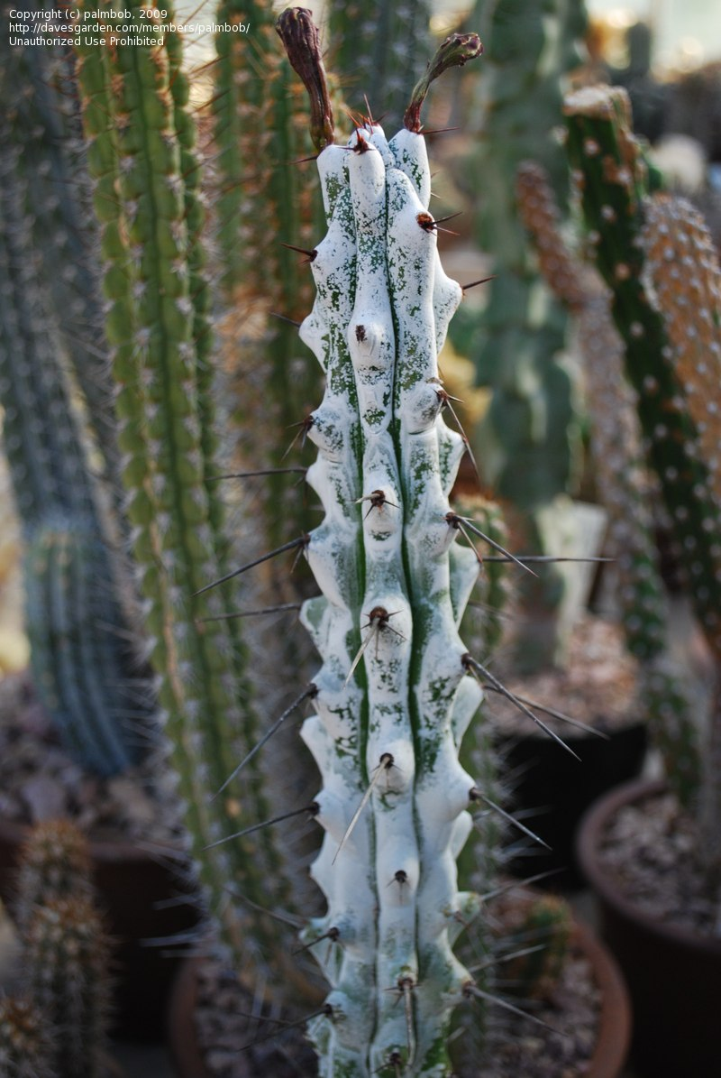10 semillas de cactus stenocereus mezcla de especies for Especies de cactus