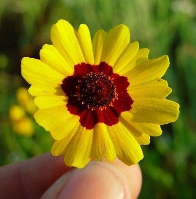 10 semillas de coreopsis tinctoria - ojo de poeta cod. 542