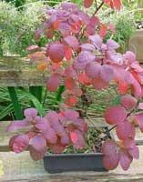 10 semillas de cotinus coggygria - arbol rosa o pelucas