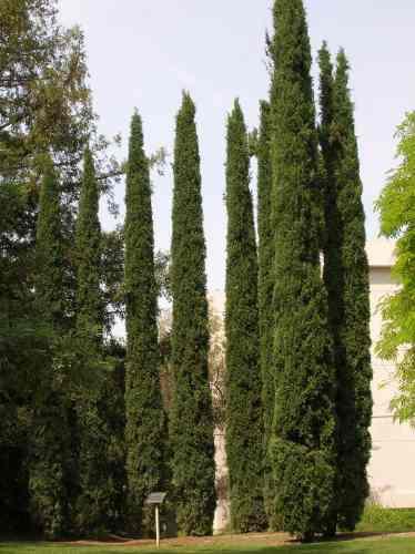 10 Semillas De Cupressus Sempervirens Cipres Italiano